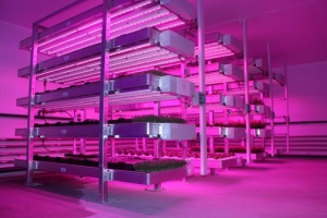 part of the LED4CROPS facility at STC showing the multi-tier growing racks illuminated with Philips Greenpower LED lights.