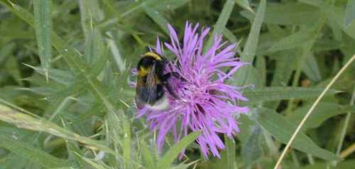 Bee on knapweed